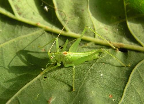 Meconema meridionale - Le Méconème fragile (♂) - Southern oak bush cricket - 10/09/12