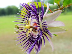 The Clock flower or Ghari flower....The blue passion flower (Passiflora caerulea)..with a honey bee..