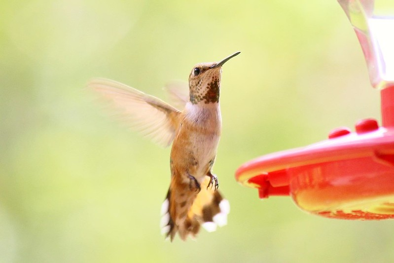 Female Rufous Hummingbird in Baton Rouge, Lousiana September, 2012