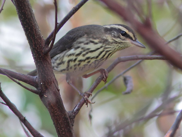Northern Waterthrush 2-20120920
