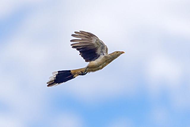 Pirincho volando en el Gran Pantanal, Matto Grosso, Brasil