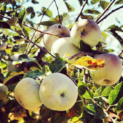 Equinox Apple-Picking #apples #orchard #autumn #fall #family #seasonal. #traditions