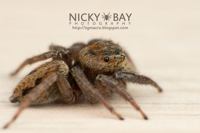 Jumping Spider (Salticidae) - DSC_5571