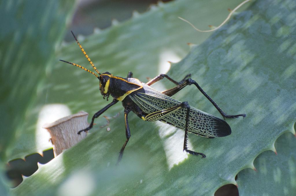 Mexican General Grasshopper