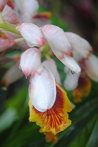 Heavy tropical raindrops hang from porcelain, pink-tipped Shell Ginger by jungle mama