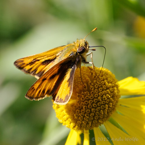Fiery skipper butterfly by andiwolfe