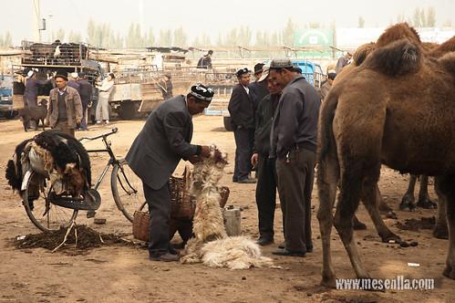 Uigur esquilando ovejas