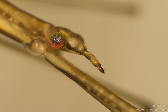 Water Stick Insect - Ranatra linearis close up