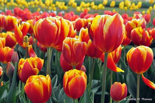 Tesselaar 2012 Tulip Festival