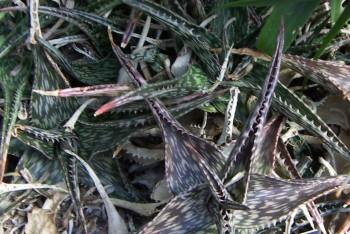 Aloe somaliensis 8034907833_810668e71b_o