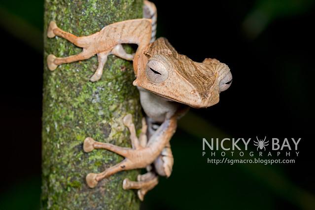 File-eared Tree Frog (Polypedates otilophus) - DSC_9034