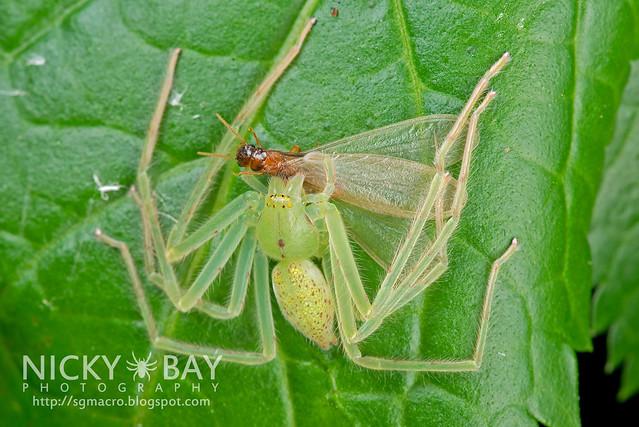 Huntsman Spider (Sparassidae) - DSC_8806