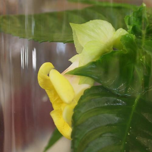 Gasteranthus tenellus