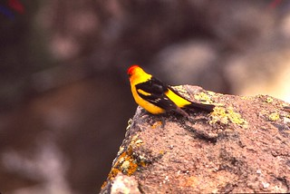 Wyoming   -   Yellowstone National Park   -   Western Tanager   -   June 1975