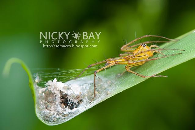 Lynx Spider (Oxyopidae) - i02714