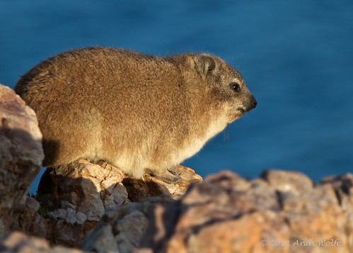 Hyrax by andiwolfe