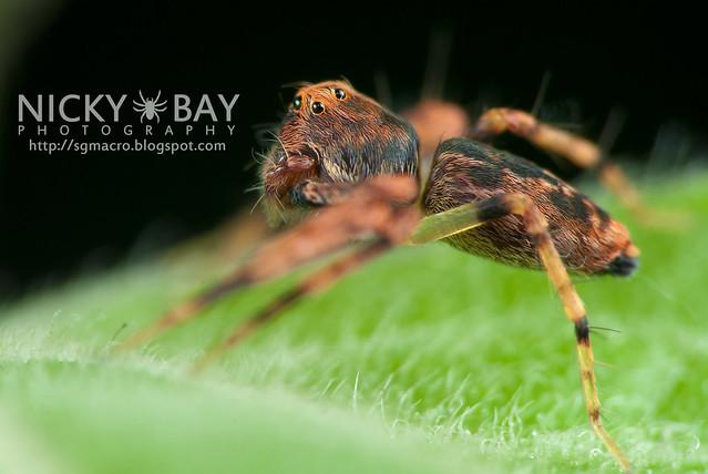 Lynx Spider (Oxyopidae) - DSC_4447
