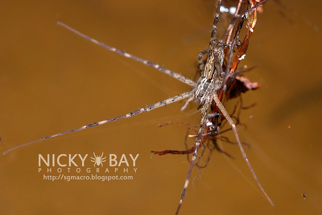 Fishing Spider (Hygropoda sp.) - DSC_3303