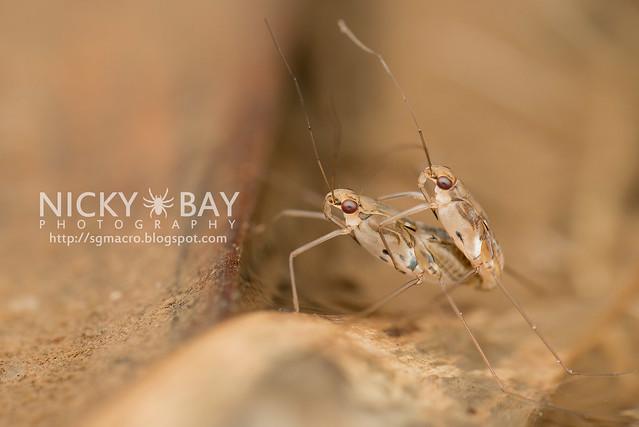 Water Striders (Gerridae) - DSC_6985