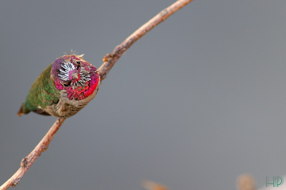 Anna's Hummingbird 100712-2