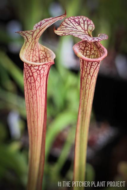 Sarracenia 'Reptilian Rose' x 'Adrian Slack'