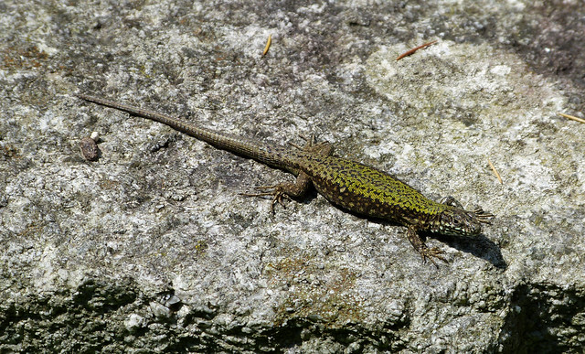 Wall Lizard, Switzerland
