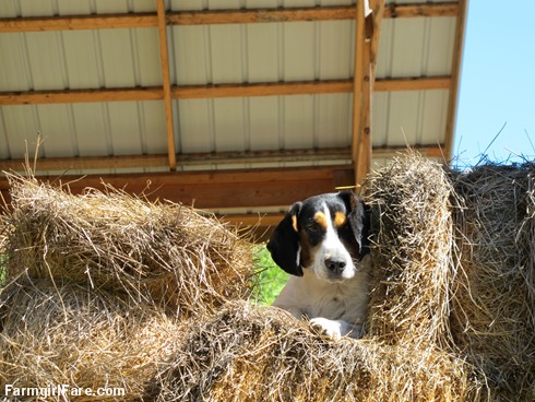 Bert in the hay (1) - FarmgirlFare.com