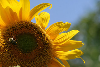 sunflower 062