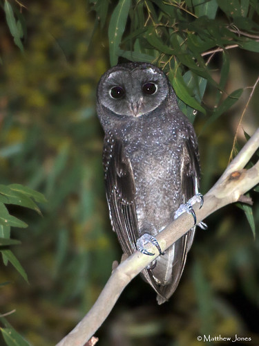 Field Guide To The Owls Of The World | Flickr - Photo Sharing! - photo#35