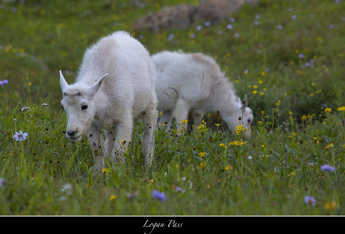 Mountain Goats-Logan Pass