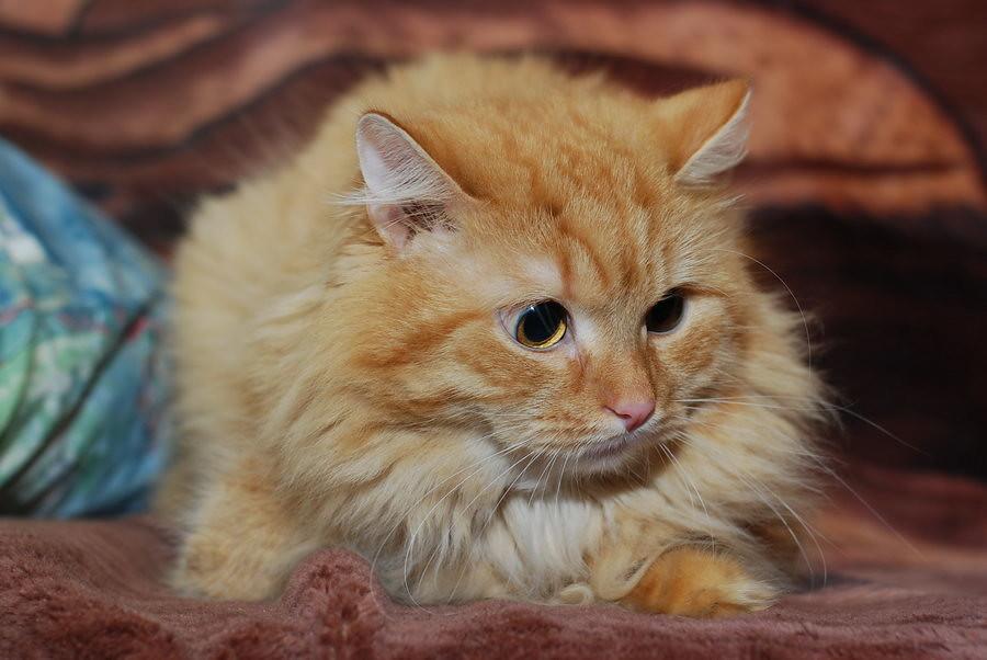 Кошачьи эмоции, рыжий кот