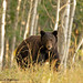 Black Bear by Wild Valley Photos