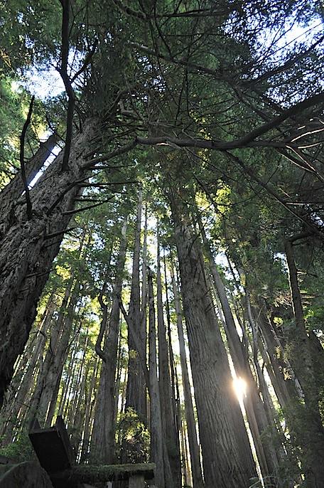 redwoods 7.jpg