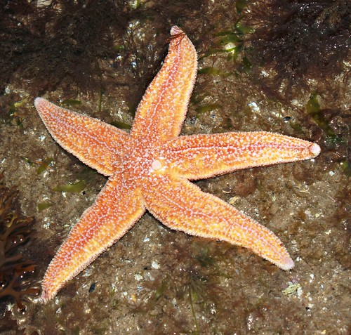 Common Starfish,Filey Brigg,North Yorkshire.
