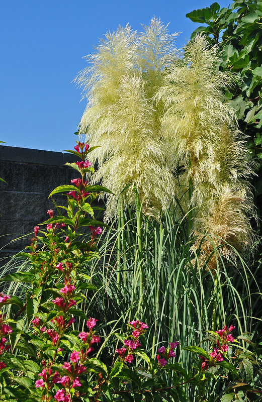 Cortaderia selloana and Weigela florida 'French Lace'