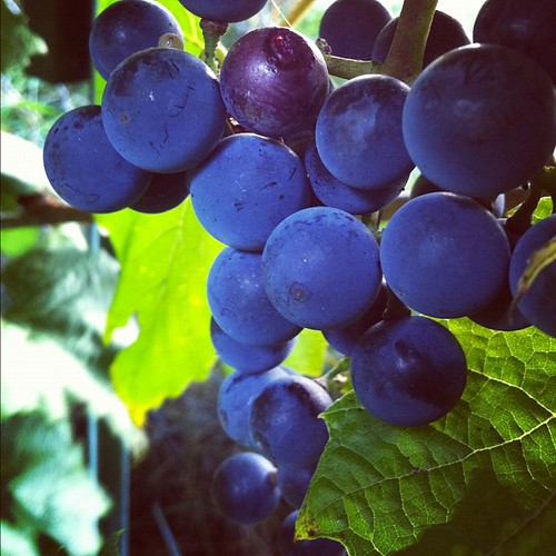 more King of the North grapes, so intensely blue #organicgarden #urbangarden #zone6a