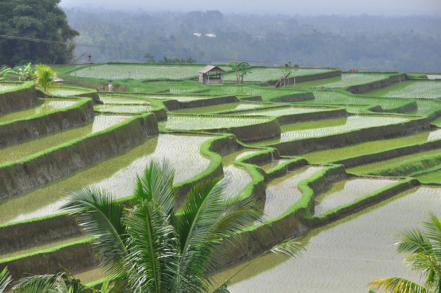 Rice fields in Bali.  Explore #1  09/09/2012