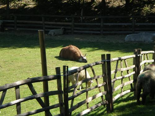 Hot Llama Alpaca