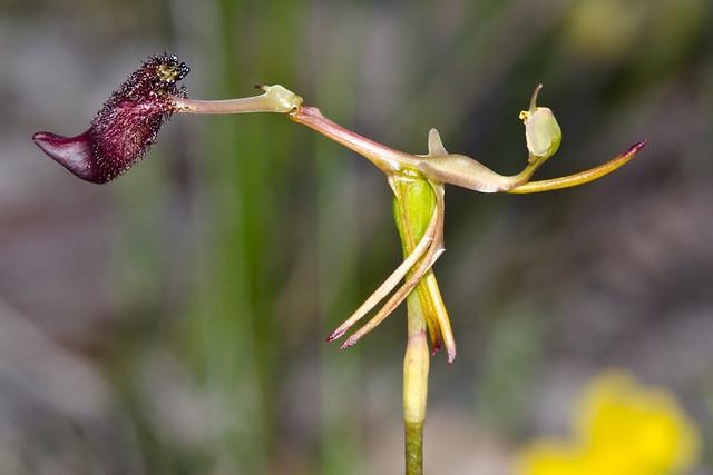 Drakaea orchids