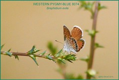 Western Pygmy-Blue Butterfly photography by Ron Birrell  DSC_8074