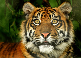 Sumatran Tiger Cub @ChesterZoo_No1