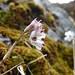 <i> Allium callimischon haemostictum </i>