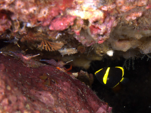 サラサエビと幼魚