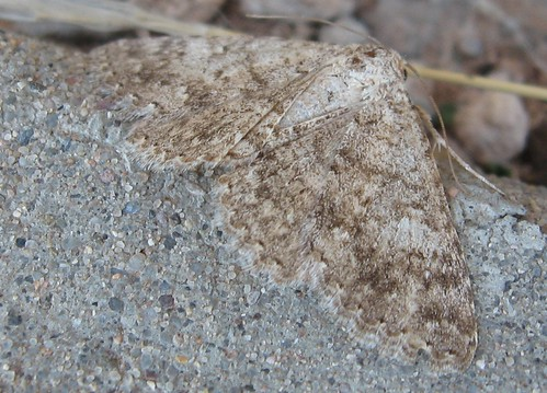 unknown geometer moth