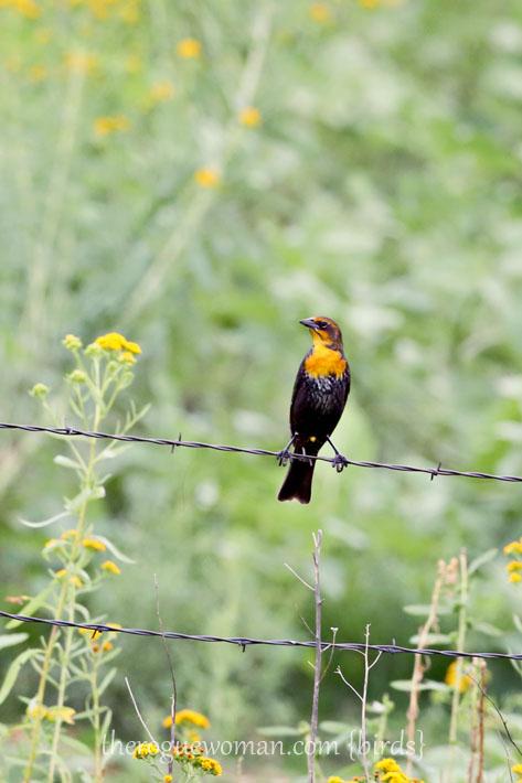 090212_04_bird_pass_yellowHeadedBlackbird