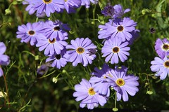 Brachyscome iberidifolia (Asteraceae)