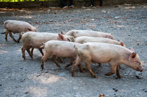 animals georgia pig oni naturelandscape rachalechkhumiandkvemosvanet rachalechkhumiandkvemosvaneti