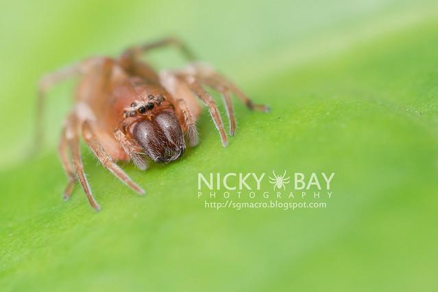 Sac Spider (Clubionidae) - DSC_4051