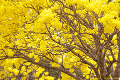 Série com o Ipê-amarelo em Brasília, Brasil - Series with the Trumpet tree, Golden Trumpet Tree, Pau D'arco or Tabebuia in Brasília, Brazil - 13-09-2012 - IMG_5261