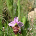 Woodcock Orchid (Steve West)